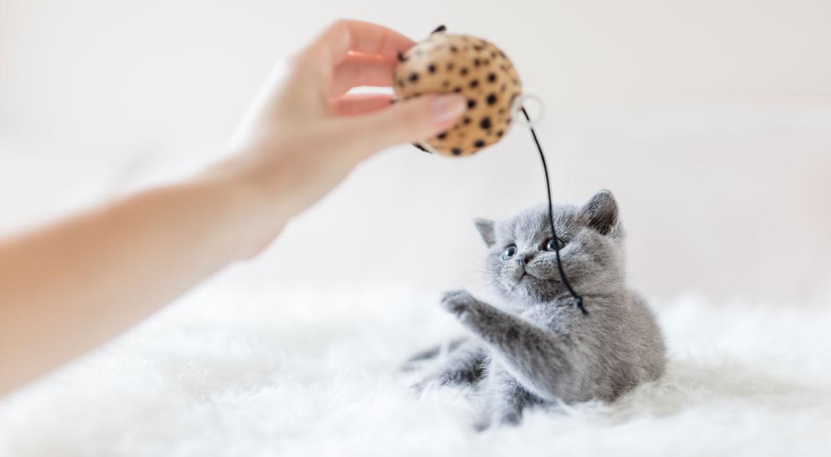 Chat domestique qui joue